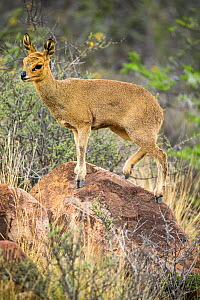 Klipspringer (Oreotragus oreotragus) standing on a rock, Karoo National Park, Western Cape, South Africa.  -  Houdin and Palanque