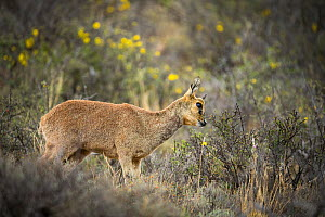 Klipspringer (Oreotragus oreotragus), marking territory with gland located under the eye, rare behavior, Karoo National Park, Western Cape, South Africa.  -  Houdin and Palanque