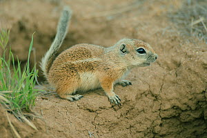 Nelson's Antelope Squirrel (Ammospermophilus nelsoni), Carrizo Plain National Monument, California, USA. Endangered species  -  Kevin Schafer