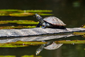 Yellow-spotted river turtle (Podocnemis unifilis) basking on log, Tambopata National Reserve, Peru, South America. Vulnerable species  -  Konrad Wothe