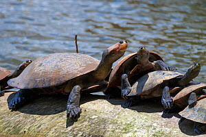 Yellow-spotted river turtles (Podocnemis unifilis) sunbathing, Tambopata National Reserve, Peru, South America. Vulnerable species  -  Konrad Wothe