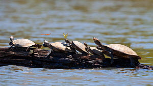 Group of yellow-spotted river turtles (Podocnemis unifilis) basking on log, Tambopata National Reserve, Peru, South America. Vulnerable species  -  Konrad Wothe