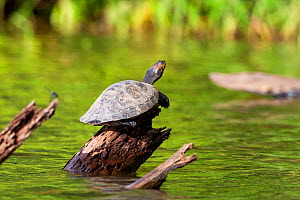 Yellow-spotted river turtle (Podocnemis unifilis) basking on log, Tambopata National Reserve, Peru, South America  -  Konrad Wothe