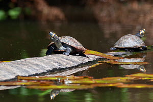 Two yellow-spotted river turtles (Podocnemis unifilis) basking on log, Tambopata National Reserve, Peru, South America. Vulnerable species  -  Konrad Wothe