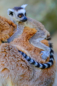 Ring-tailed lemur (Lemur catta) baby on mother's back, Isalo National Park, Madagascar, October 2019. Endangered species  -  Lorraine Bennery