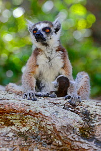 Ring-tailed lemur (Lemur catta) mother with baby, Isalo National Park, Madagascar, October 2019. Endangered species  -  Lorraine Bennery