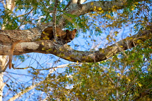 Fosa (Cryptoprocta ferox) female in tree, Kirindy forest, private reserve, Madagascar, endemic, November. Vulnerable species  -  Lorraine Bennery