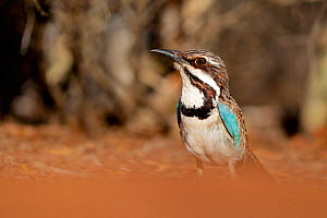 Long-tailed ground roller (Uratelornis chimaera), Reniala Forest, Madagascar, October 2019. Vulnerable species  -  Lorraine Bennery