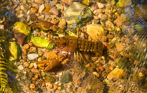 White-clawed crayfish (Austropotamobius pallipes) on riverbed, Staffordshire, UK. September.  -  Paul Hobson