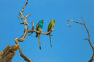 Golden-shouldered parrot (Psephotellus chrysopterygius) Cape York Peninsula, Queensland, Australia. May.  -  Tim  Laman