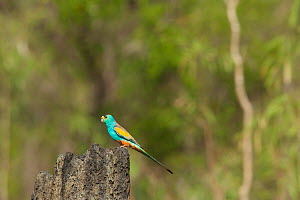 Golden-shouldered Parrot (Psephotellus chrysopterygius) male perched on termite mound containing his nest hole. Cape York Peninsula, Queensland, Australia. May.  -  Tim  Laman