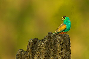 Golden-shouldered parrot (Psephotellus chrysopterygius) male perched on termite mound containing his nest cavity. Cape York Peninsula, Queensland, Australia. May.  -  Tim  Laman