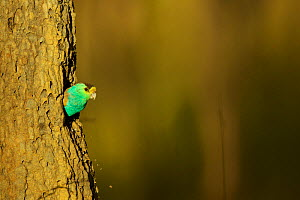 Golden-shouldered parrot (Psephotellus chrysopterygius) male leaving nest cavity in termite mound.  -  Tim  Laman