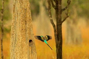 Golden-shouldered parrot (Psephotus chrysopterygius) male flying to nest cavity in termite mound. Cape York Peninsula, Queensland, Australia.  -  Tim  Laman