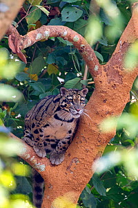 Clouded leopard (Neofelis nebulosa) in tree, captive, Tripura state, India  -  Sylvain Cordier