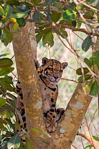 Clouded leopard (Neofelis nebulosa),in tree, captive, Tripura state, India  -  Sylvain Cordier