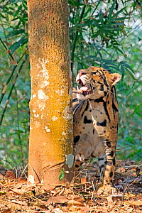 Clouded leopard (Neofelis nebulosa) looking up into tree, captive, Tripura state, India  -  Sylvain Cordier