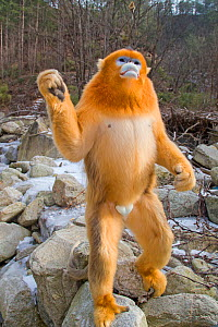 Golden snub-nosed monkey (Rhinopithecus roxellana),standing up on river boulders, Qinling Mountains, Shaanxi province, China  -  Sylvain Cordier