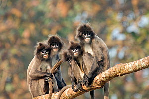 Phayre's leaf monkey (Trachypithecus phayrei) group on branch, Tripura state, India  -  Sylvain Cordier