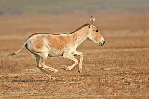 Indian wild ass (Equus hemionus khur) running, Wild Ass Sanctuary, Little Rann of Kutch, Gujarat, India  -  Sylvain Cordier