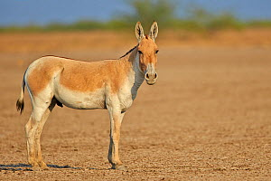 Indian wild ass (Equus hemionus khur) , Wild Ass Sanctuary, Little Rann of Kutch, Gujarat, India  -  Sylvain Cordier