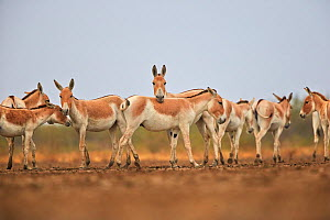 Indian wild asses (Equus hemionus khur) herd, Wild Ass Sanctuary, Little Rann of Kutch, Gujarat, India  -  Sylvain Cordier