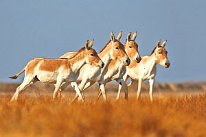 Indian wild asses (Equus hemionus khur) , Wild Ass Sanctuary, Little Rann of Kutch, Gujarat, India  -  Sylvain Cordier