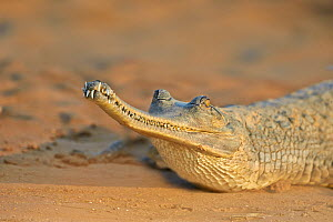 Gharial (Gavialis gangeticus), on the sand of the river, Chambal river, Uttar Pradesh, India  -  Sylvain Cordier