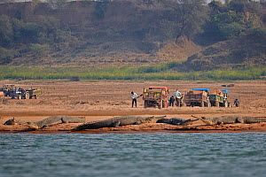 Gharial (Gavialis gangeticus) on river bank river, with people working in the background, Chambal river, Uttar Pradesh, India  -  Sylvain Cordier