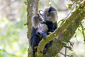 Lion-tailed macaque (Macaca silenus), adult female with young, one adult is grooming the female, Anaimalai Mountain Range (Nilgiri hills), Tamil Nadu, India  -  Sylvain Cordier