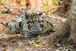 Clouded leopard (Neofelis nebulosa), resting on ground. Captive, Tripura state, India  -  Sylvain Cordier