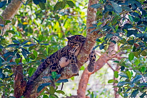 Clouded leopard (Neofelis nebulosa) resting in tree, Tripura state, India. Captive.  -  Sylvain Cordier