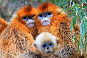 Golden snub-nosed monkey (Rhinopithecus roxellana), two females embracing with baby, Qinling Mountains, Shaanxi province, China  -  Sylvain Cordier