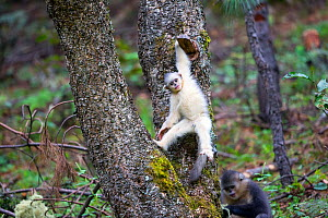 Yunnan snub-nosed monkey (Rhinopithecus bieti), young in a tree, Yunnan province, China  -  Sylvain Cordier