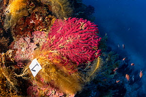 Red sea fan, (Paramuricea clavata) marked to be studied, covered with mucilage - seafans provide the best support for mucilage growth. Gnjilina dive site. Vis Island, Croatia, Adriatic Sea, Mediterran... - Franco  Banfi