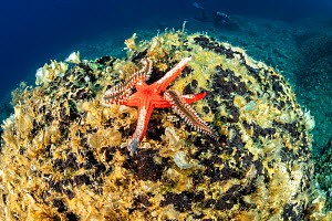 Sea star, (Hacelia attenuata) being eaten by a Bearded fireworm, (Hermodice carunculata), Vis Island, Croatia, Adriatic Sea, Mediterranean  -  Franco  Banfi
