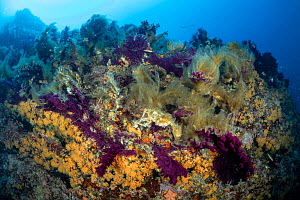 Red sea fan (Paramuricea clavata) and Yellow cluster anemone (Parazoanthus axinellae) covered with mucilage - seafans provide the best support for mucilage growth. Wall of Bisevo dive site, Vis Island... - Franco  Banfi