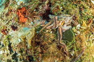 Octopus, (Octopus vulgaris), fighting with Bearded fireworm, (Hermodice carunculata) who want to eat it, top of the wall of Bisevo, Vis Island, Croatia, Adriatic Sea, Mediterranean  -  Franco  Banfi