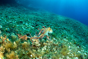 Octopus, (Octopus vulgaris), take away a small octopus attacked by Bearded fireworm, (Hermodice carunculata) who want to eat it, top of the wall of Bisevo, Vis Island, Croatia, Adriatic Sea, Mediterra...  -  Franco  Banfi
