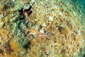 Octopus, (Octopus vulgaris) fighting with Bearded fireworm, (Hermodice carunculata) that wants to eat it, top of the wall of Bisevo, Vis Island, Croatia, Adriatic Sea, Mediterranean  -  Franco  Banfi
