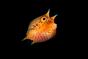 Longhorn cowfish (Lactoria cornuta) juvenile, only 2 cm, swimming out in the open ocean. Balayan Bay, Luzon Island, Philippines  Minimum fees apply.  -  Magnus Lundgren