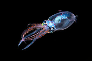 Diamond squid (Thysanoteuthis rhombus) juvenile (2 cm), Longdong, Taiwan. This is the first every sighted juvenile diamond squid in Taiwan.  Minimum fees apply. - Magnus Lundgren