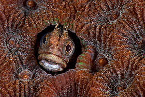 Undescribed blenny (Blenniidae) tiny, with a wide head and feathery tentacles, Longdong, Northeast, Taiwan.  Minimum fees apply.  -  Magnus Lundgren