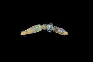 Miniature squids mating or fighting, Balayan Bay, Luzon, Philippines. Captured at 10 meters depth drifting over 200 meters deep water at night. Minimum fees apply.  -  Magnus Lundgren