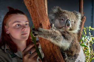 Toby, a baby female Koala (Phascolarctos cinereus) rescued from Gelantipy, East Gippsland, following the bushfires and now in care at Zoos Victoria Helasville Sanctuary, looked after by zoo keeper Cou...  -  Doug Gimesy