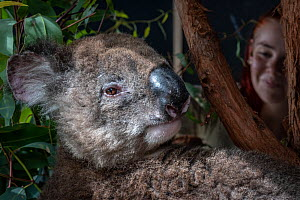 Roger, a male koala (Phascolarctos cinereus), in care at Zoos Victoria Healsville Sanctuary. He was one of the burnt koalas rescued and transported to Melbourne for further care after the 2019/20 bush...  -  Doug Gimesy