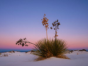 Soaptree yucca (Yucca elata) with seedhead in white gypsum sand dunes, White Sands National Monument, New Mexico, USA. December.  -  Jack Dykinga