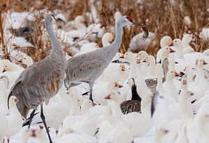Sandhill crane (Antigone canadensis) with gopher prey surrounded by Snow geese (Anser caerulescens) Bosque del Apache, New Mexico, USA.  -  Jack Dykinga