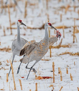 Sandhill crane (Antigone canadensis) with gopher prey, another trying to steal it. Bosque del Apache, New Mexico, USA.  -  Jack Dykinga