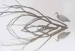 Great blue heron (Ardea herodias) waiting for prey in lagoon during fog inversion. Bosque del Apache National Wildlife Refuge New Mexico. - Jack Dykinga